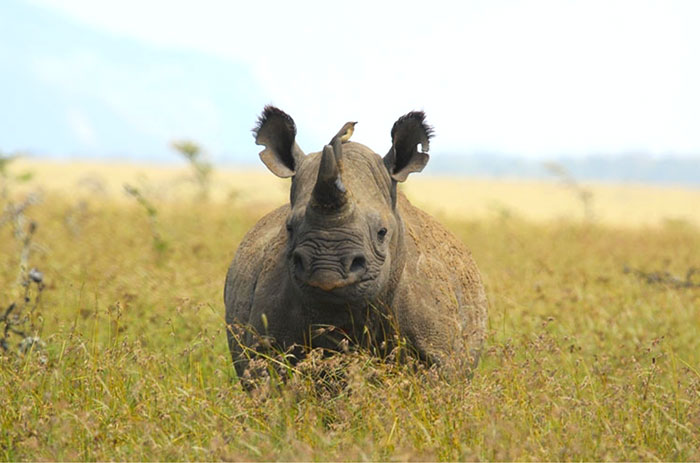 Wild at Heart Journeys Conservation Borana Kenya Rhino