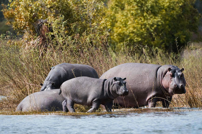 Wild at Heart Journeys Conservation Zimbabwe Toka Leya Hippos